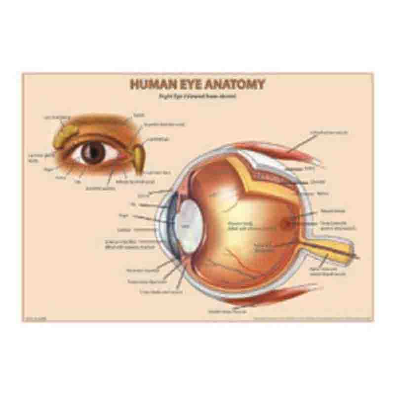 for details add to cart  human eye anatomy chart